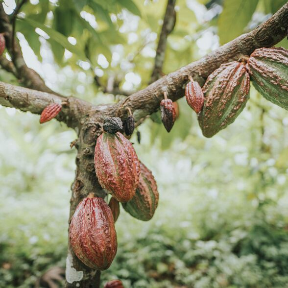 valrhona.us-our-mission-to-develop-cocoa-and-chocolate-industries