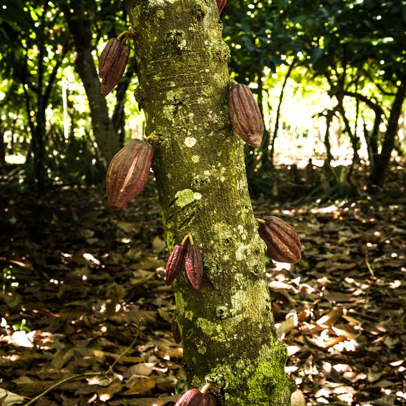 Valrhona.com-live-long-cacao-exemple-deforestation
