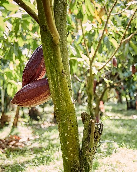 Cocoa Forest Initiative