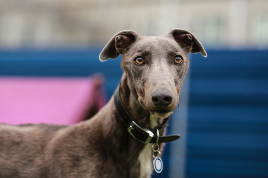 Battersea Cats And Dogs Home Greyhounds