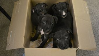 Puppies Emmeline, Lydia, Edith and Davison, moments after they arrived at Battersea.
