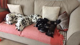 Emmeline and Davison in their foster home with foster carer Kim Tyson's Dalmations