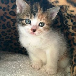 Buttercup the Battersea kitten