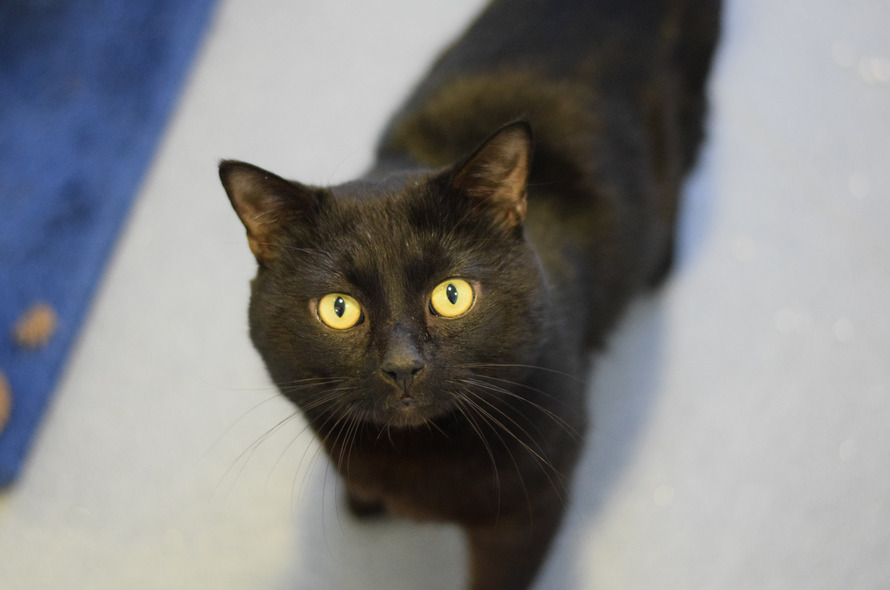 Westminster welcomes its third Battersea mouser | Battersea Dogs