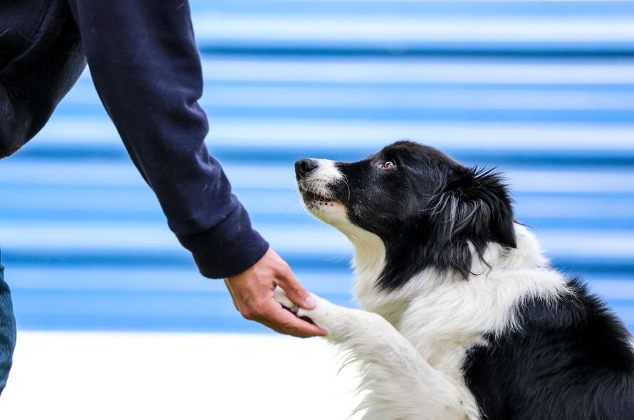 Reasons to rescue a Border Collie | Battersea Dogs & Cats Home