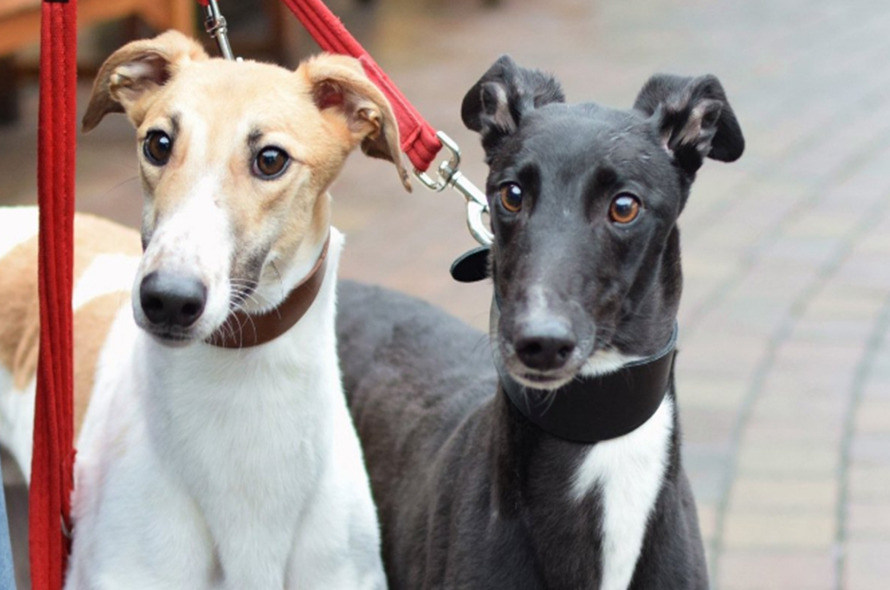 Battersea Weighs In On Greyhound Welfare Battersea Dogs Cats Home