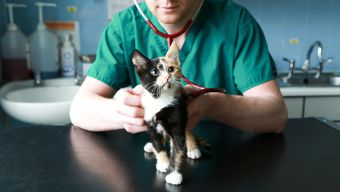 Tippy the kitten getting a thorough health check from the Battersea veterinary team