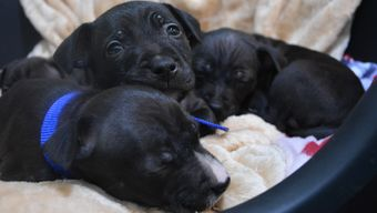 Puppies Emmeline, Lydia, Edith and Davison cosy at Battersea.
