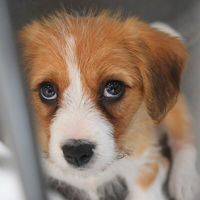 How a change in pet-importation rules would tackle puppy smuggling