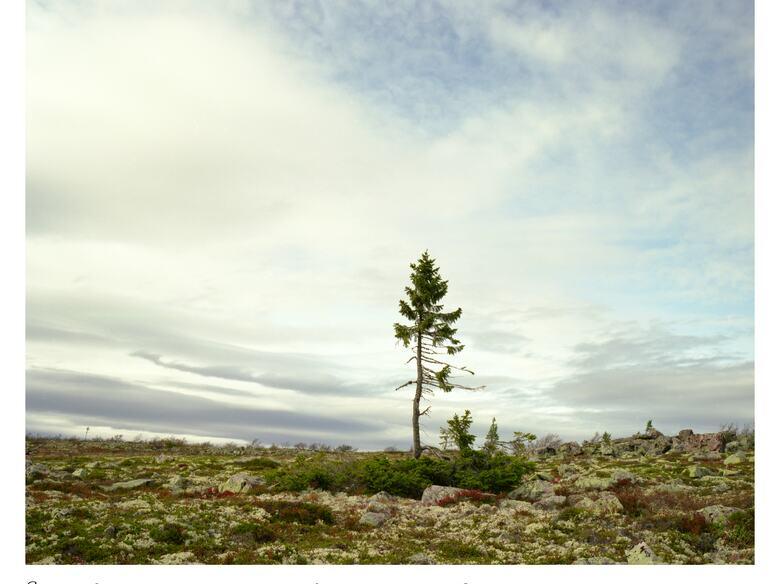 Rachel Sussman, Spruce Gran Picea # 0909 - 11A07 (9,550 years old; Sweden), 2009. Archival print, 111.8 x 137.2 cm. © the artist 2020. Courtesy the artist