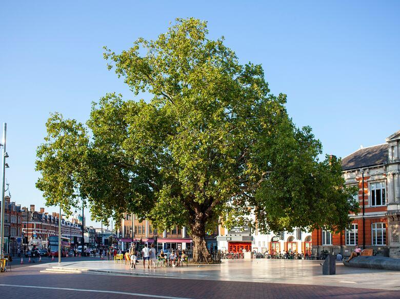 A landmark 19th century London plane tree in Windrush Square, Brixton