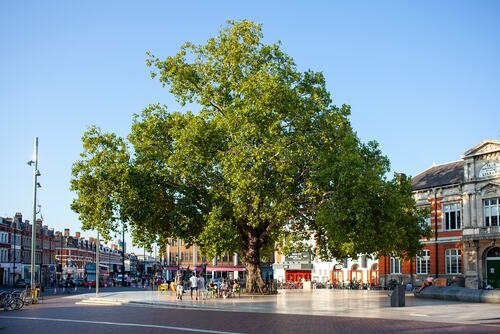 A landmark 19th century London plane tree in Windrush Square, Brixton