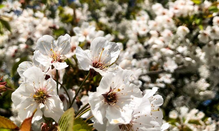 A tree in blossom - Submission to our Spring Among the Trees photo competition from Twitter user: hplatts