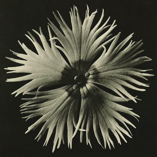 Photograph of Dahlia by artist, Karl Blossfeldt