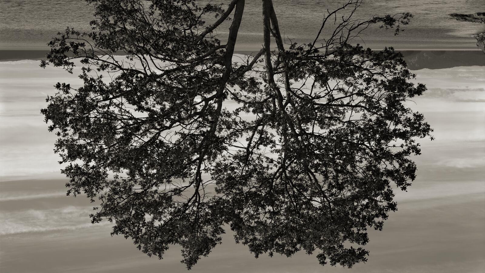 Rodney Graham, Gary Oak, Galiano Island, 2012. © the artist 2020. Courtesy Hauser & Wirth.