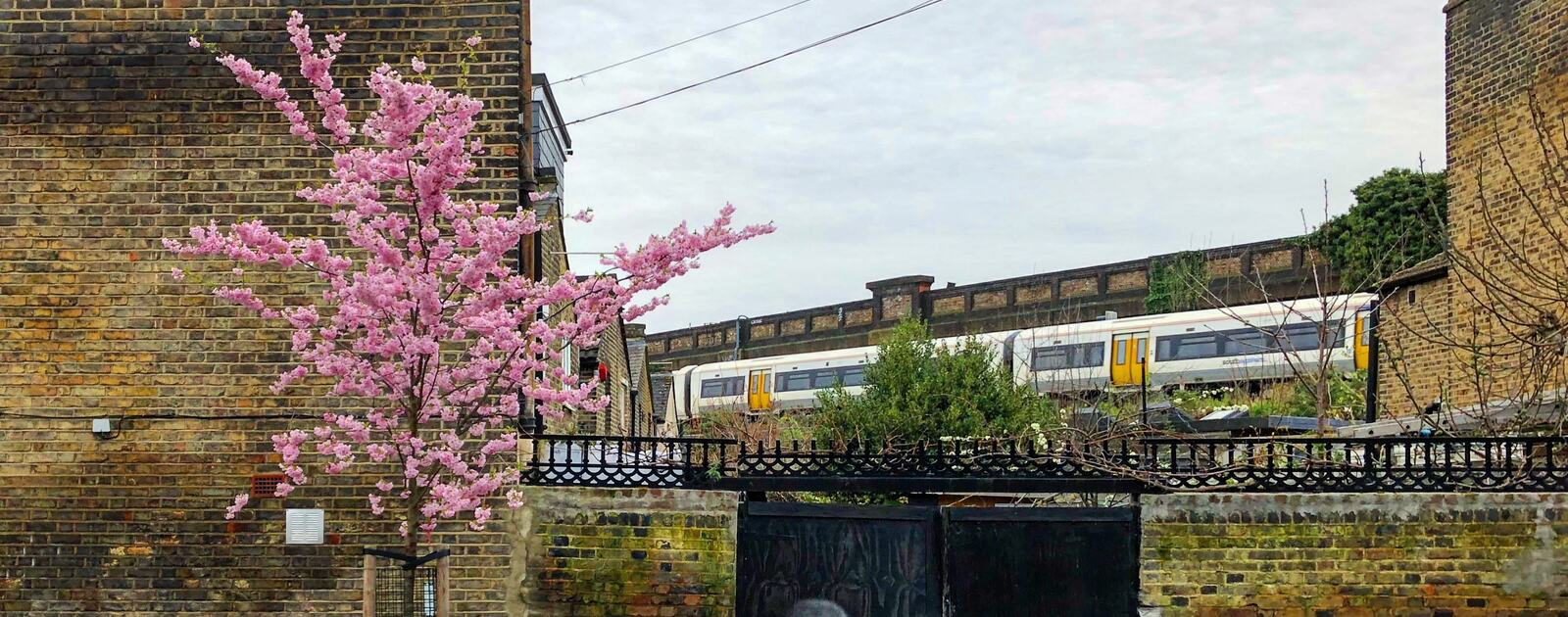 A tree in blossom in South London - Submission to our Spring Among the Trees photo competition from staff member Glen Wilson