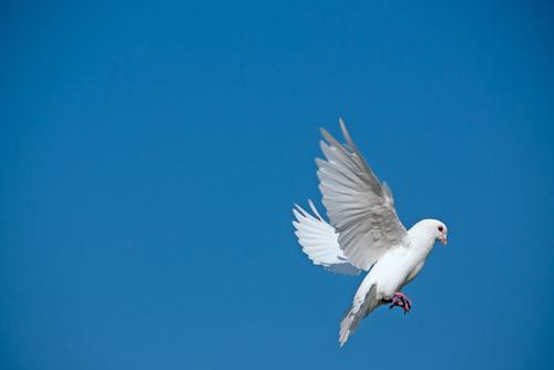 Dove flying with extended wings